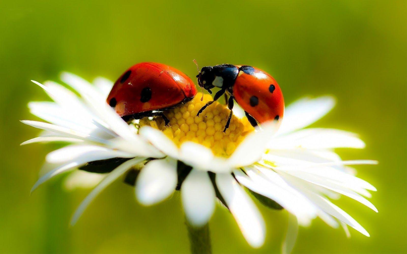 images of ladybugs   hd-ladybug-wallpaper-with-two-ladybugs-on-a