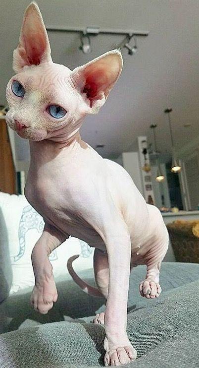 Pin By Aurelie Harivel On Precious Cute Hairless Cat Hairless Cat Sphynx Cat