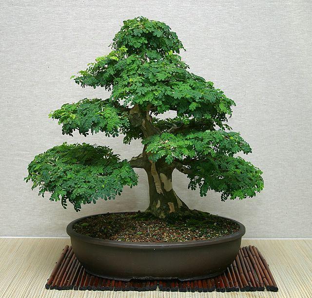 HOLLOW CREEK BONSAI - Brazilian Raintree Bonsai | Bonsai | Pinterest ...