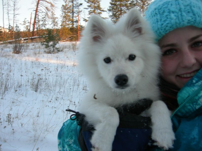 The Toy, Regular, and Miniature American Eskimo Dogs are