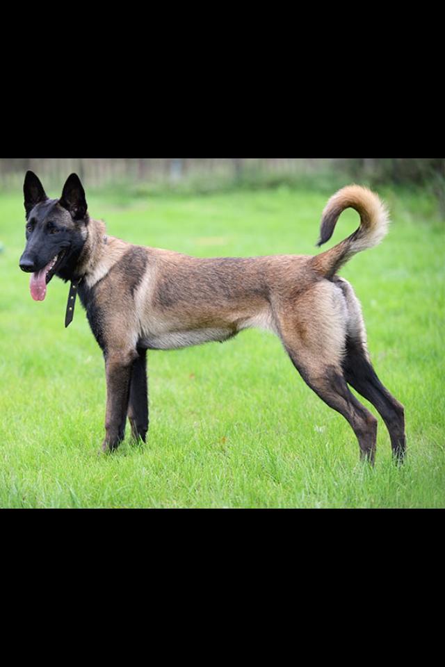 Dog Name Max Belgian Malinois Dog Malinois Dog Belgian Malinois
