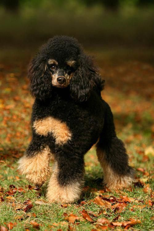 Medium Poodle