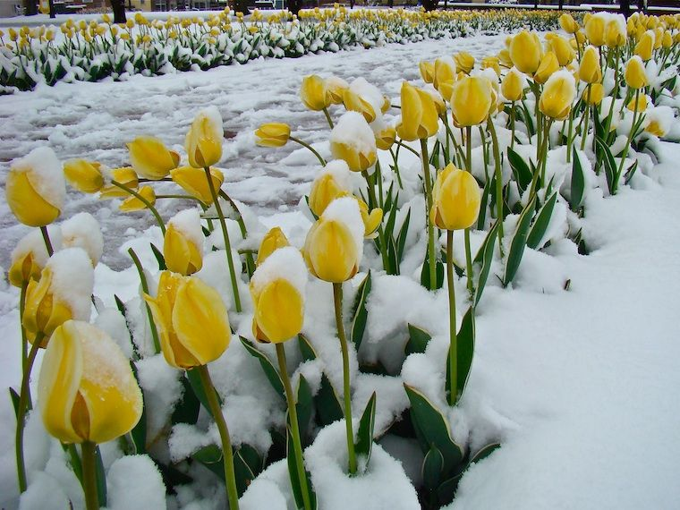 Colorful Tulips With Snow Images Hd Wallpapers Tulips Flower Images Hd Plants