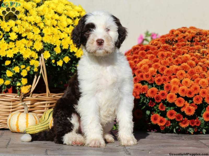 Charlotte standard poodle mix puppy for sale in