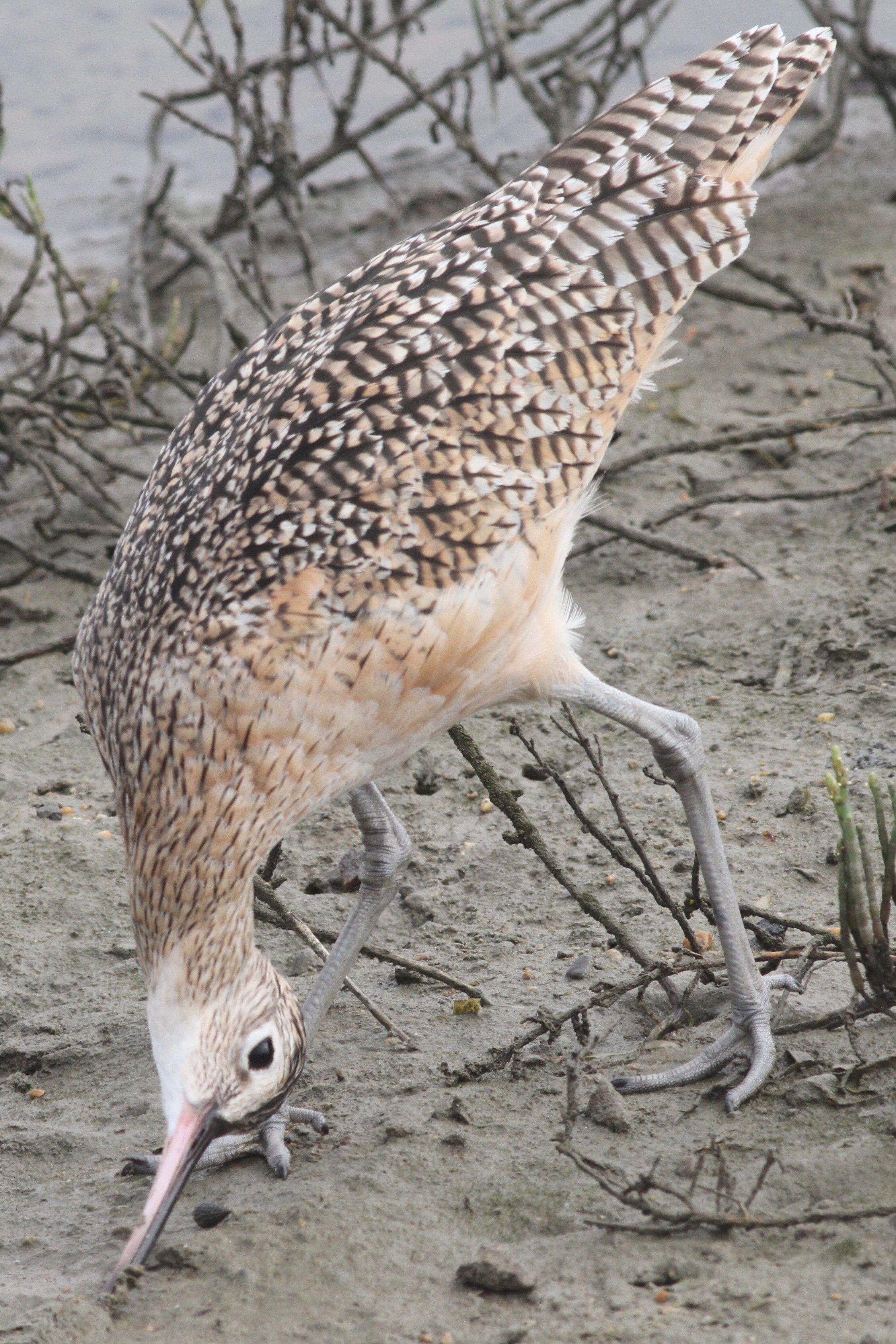 Longbilled Curlew Bird species, Curlew, Species