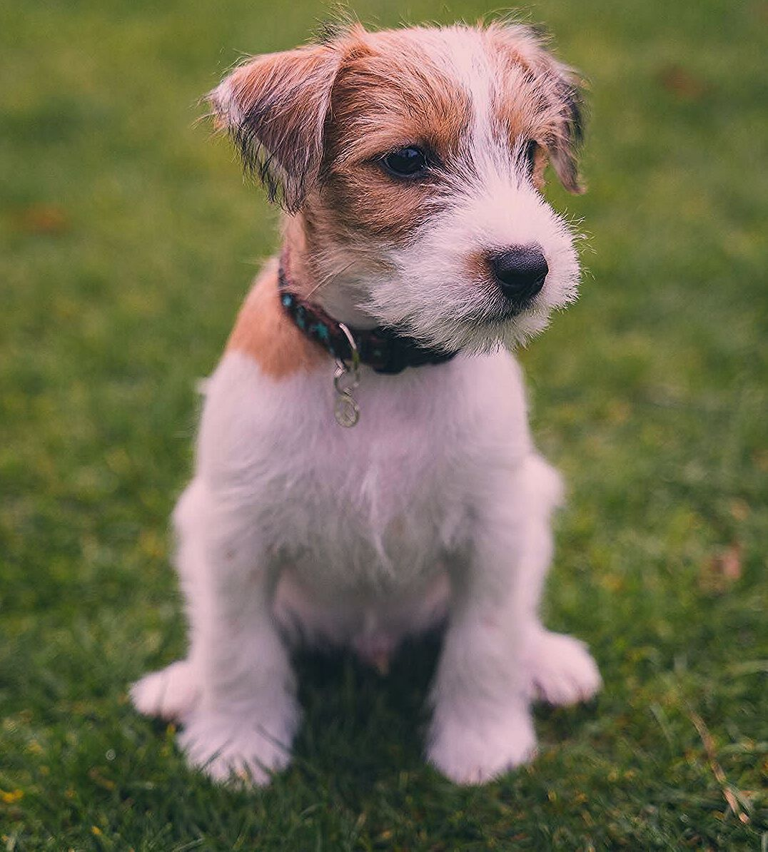 Puppies Jack Russell