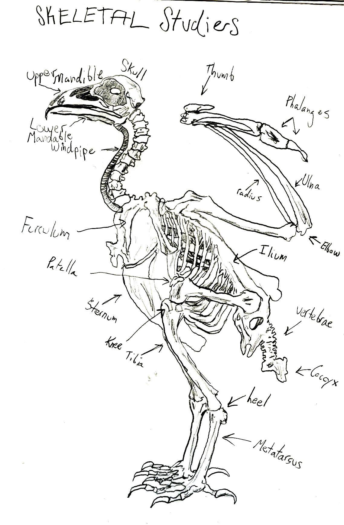 Turkey Anatomy Diagram Pinterest Online Schematic Diagram