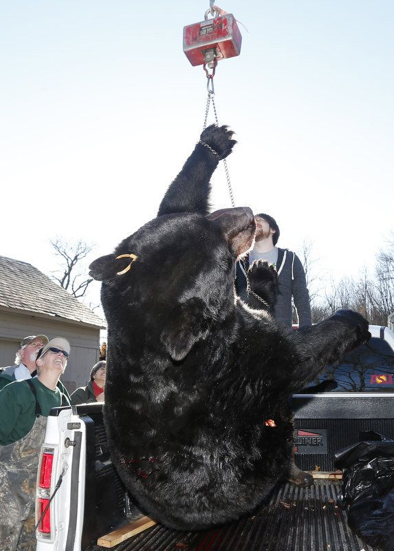 A 658.5lb bear as hunters bring their bears in to be checked on the first day of bear season at Whittingham Wildlife Management Area in Fredon. 12/7/15 (Ed Murray   NJ Advance Media for NJ.com)