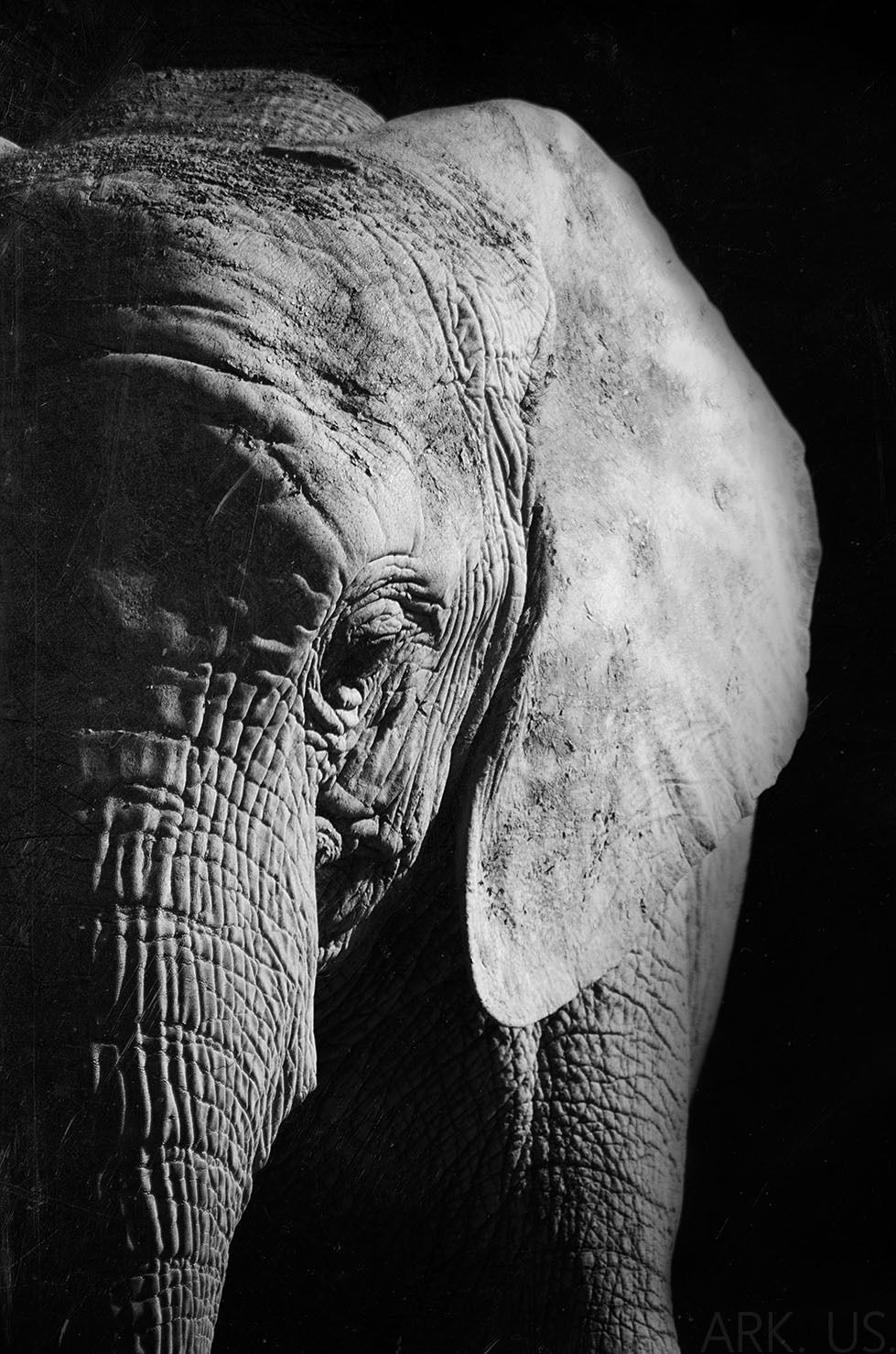 poster portrait d 39 l phant en noir et blanc 30x45cm fotos pinterest photo elephant photo. Black Bedroom Furniture Sets. Home Design Ideas