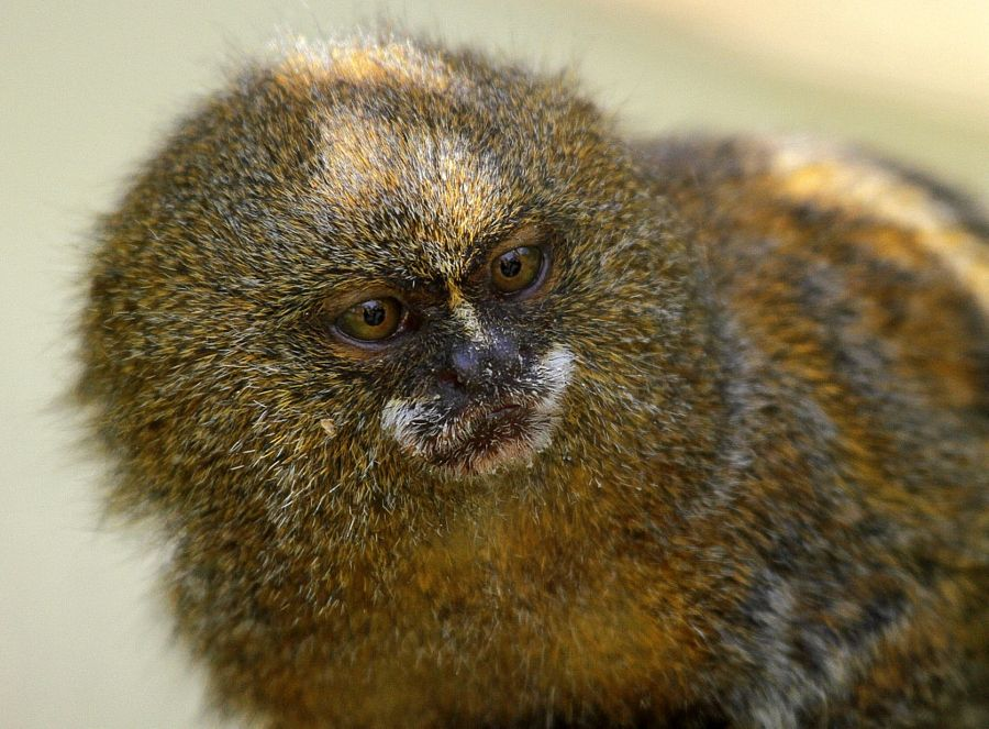 Dwarf monkey by Rainer Leiss - Photo 8870302 - 500px