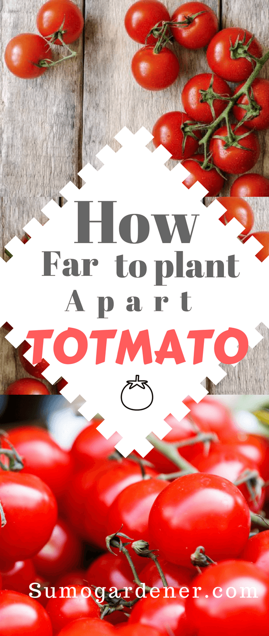 How Far Apart To Plant Tomatoes Why Is It Important Tomato Garden Growing Tomatoes Gardening For Beginners