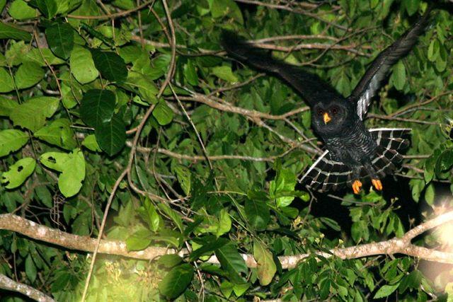 Foto coruja-preta (Strix huhula) por Cassiano Zaparoli (zapa) | Wiki Aves - A Enciclopédia das Aves do Brasil