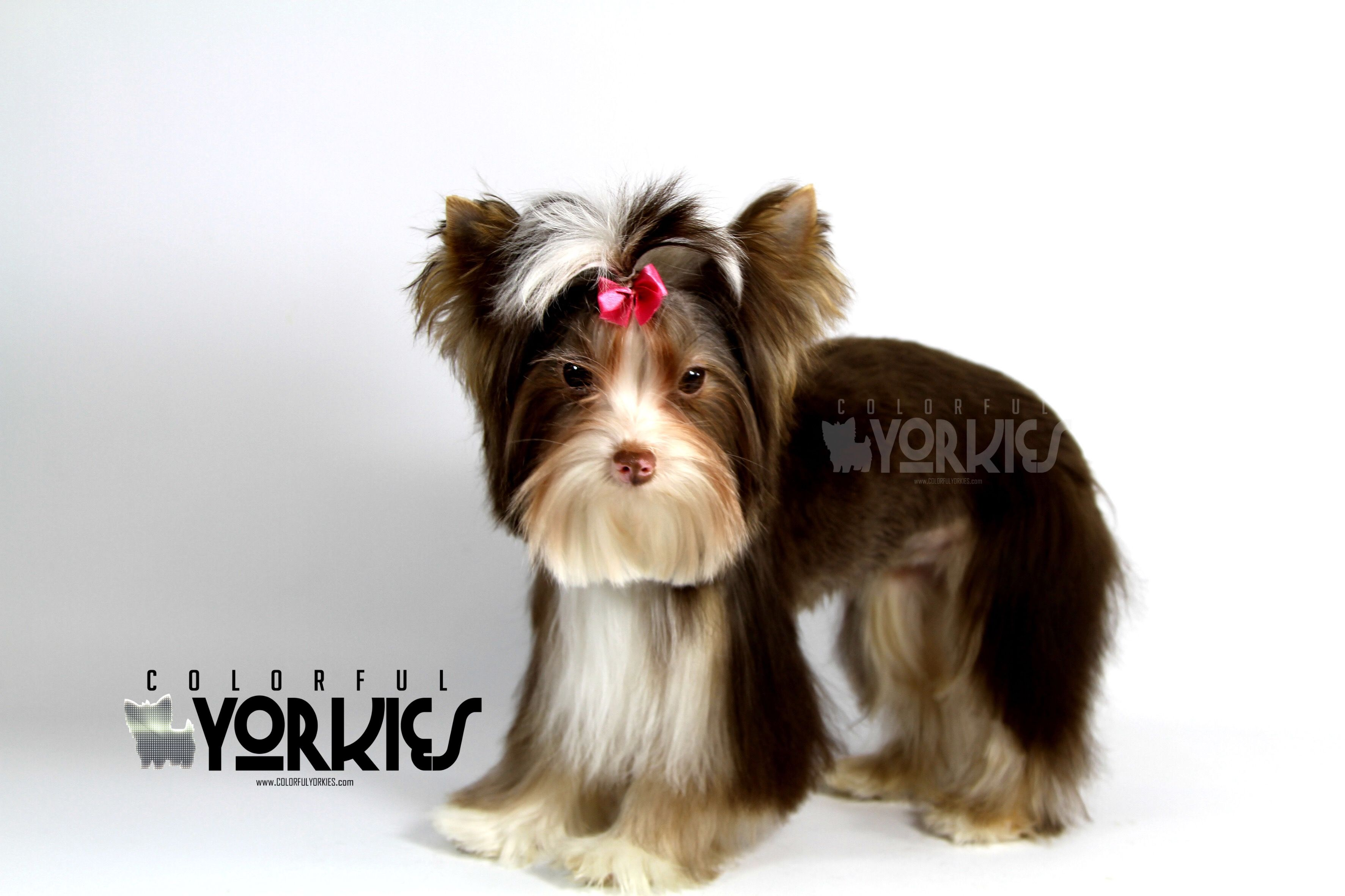 Beautiful Dark Chocolate Parti Heidi Is Available At Www Colorfulyorkies Com Yorkie Beautiful Dogs Animal Photography