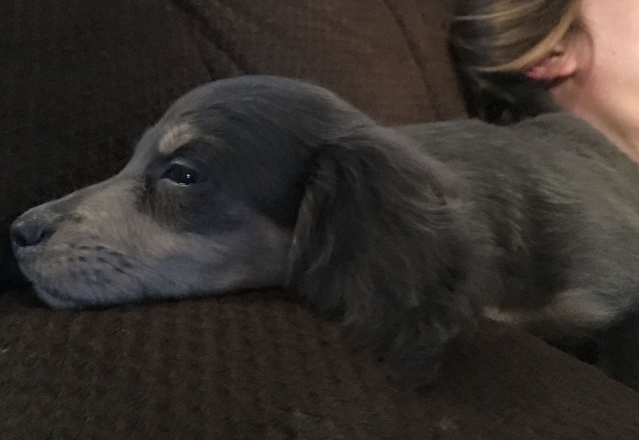 Miniature Dachshund Puppies Blue And Cream Beautiful Longhair