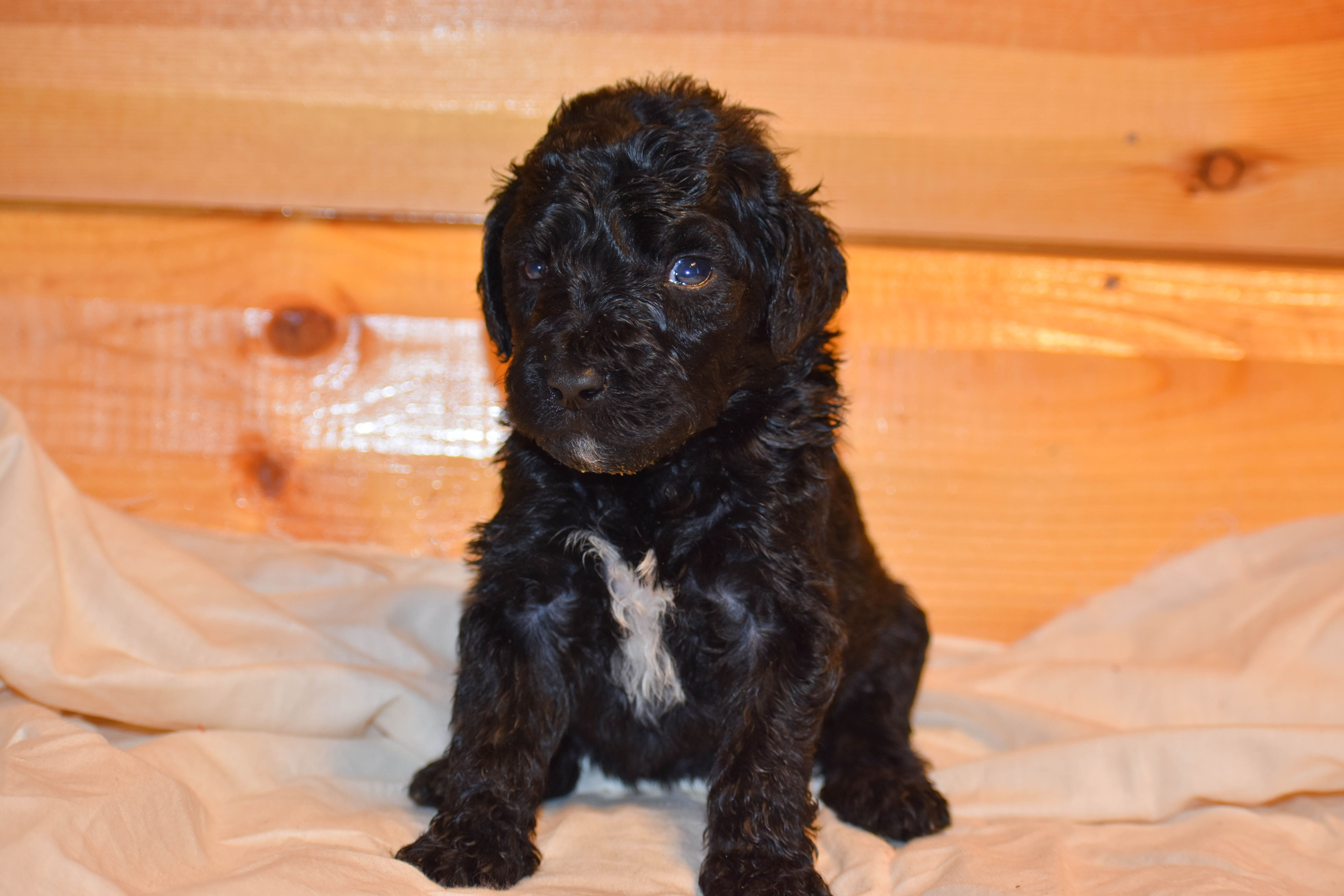 Mickey A New Male Bernedoodle Puppy For Sale In Flora Illinois