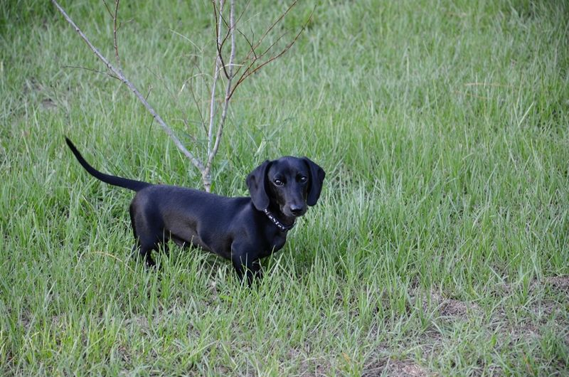 A Pure Black Short Haired Smooth Dachshund Dachshunds For Sale