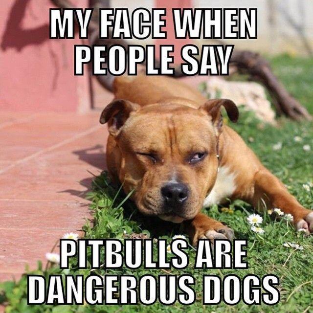 Pit Bull Instagram @pitbullinstagram Part 1 of 3: Whil...Instagram photo | Websta