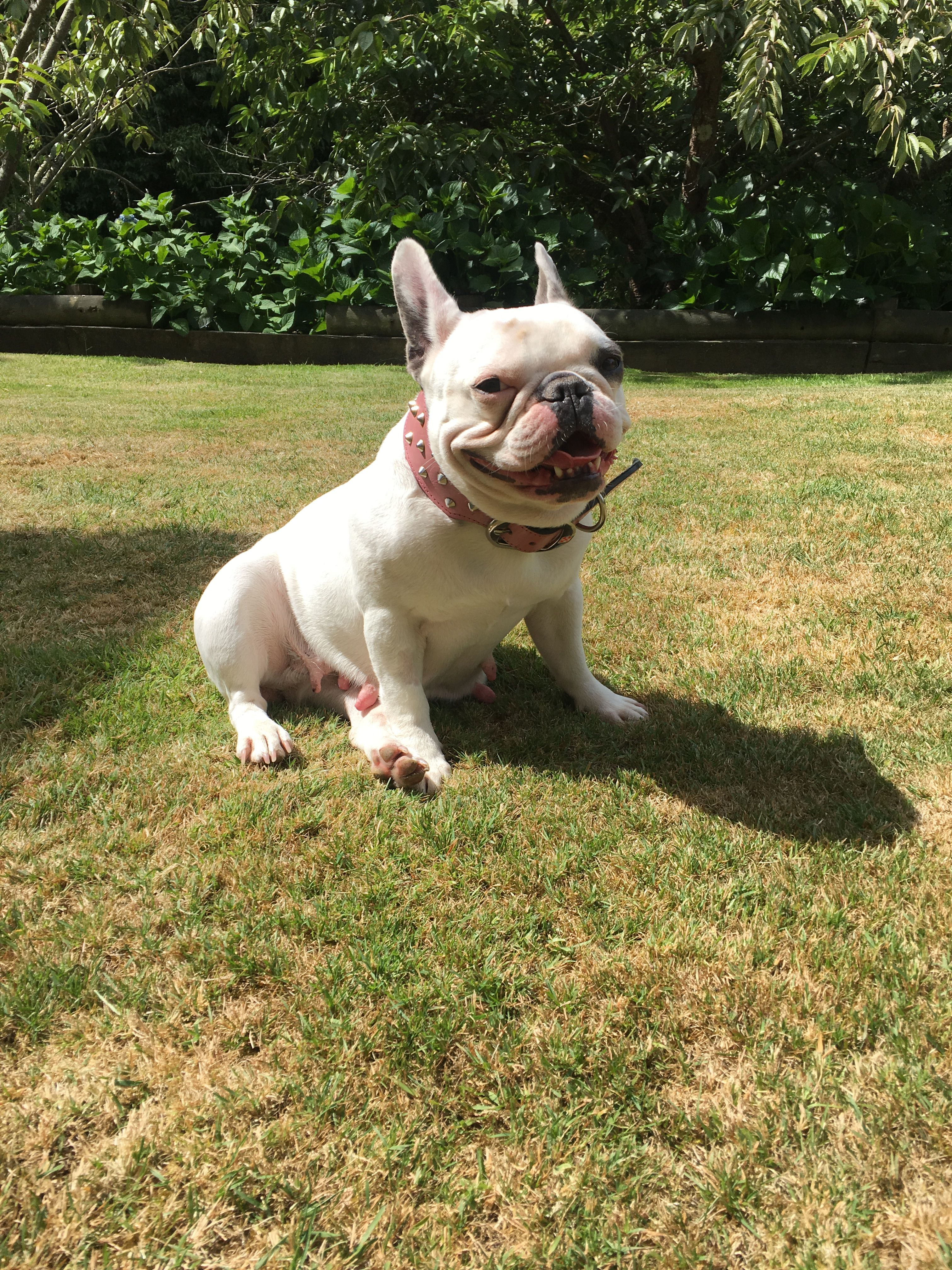 My beautiful blue pied French bulldog (With images) Cute