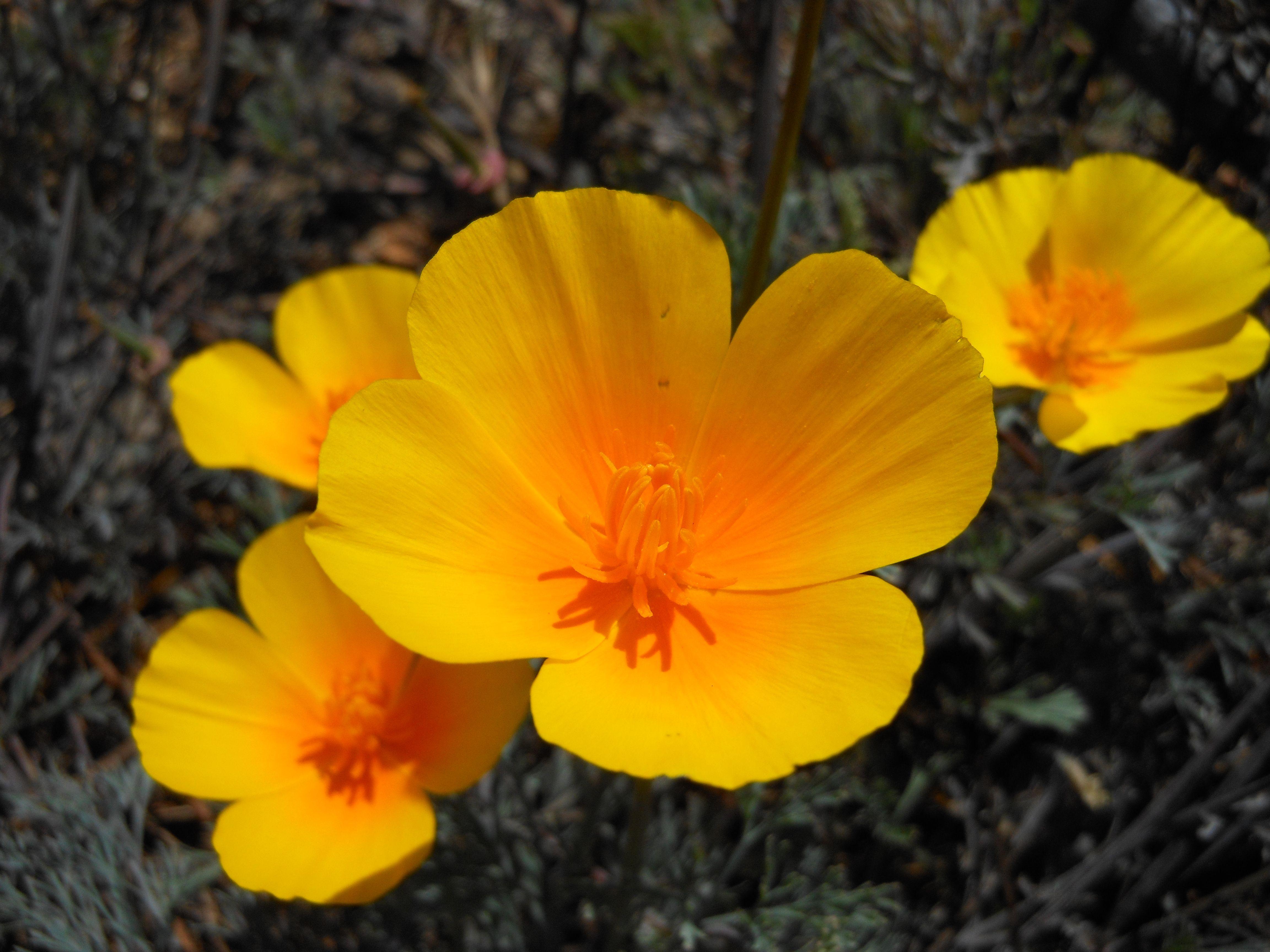 California State Flower The Poppy Flowers Pinterest