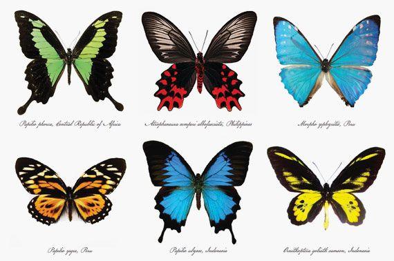 Butterfly Species | Crochet | Pinterest | Butterfly ...