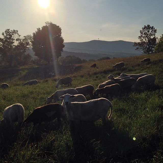 Sheep vista at magic hour  #sheep #vermont #vt #grassfed #sunset #soVT