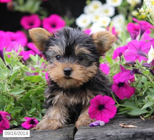 Corry Yorkshire Terrier Puppy For Sale In Loganton Pa Yorkshire Terrier Puppies Yorkshire Terrier Puppies For Sale