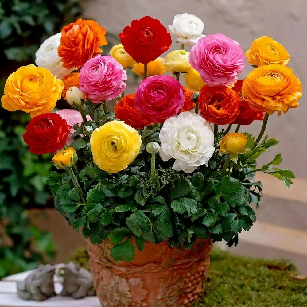 How Do You Grow Ranunculus In Pots Ranunculus Flowers Flower Pots Annual Flowers