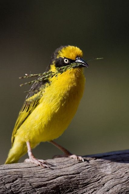 Spectacled Weaver off to build a nest | Flickr - Photo Sharing!