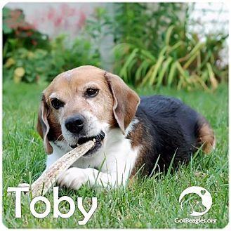 Novi Mi Beagle Meet Toby A Dog For Adoption Http Www