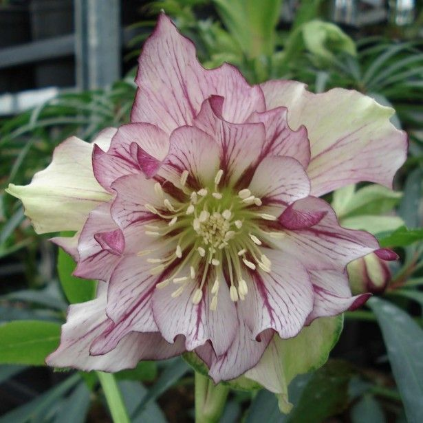 helleborus orientalis double picotee jardin garden. Black Bedroom Furniture Sets. Home Design Ideas