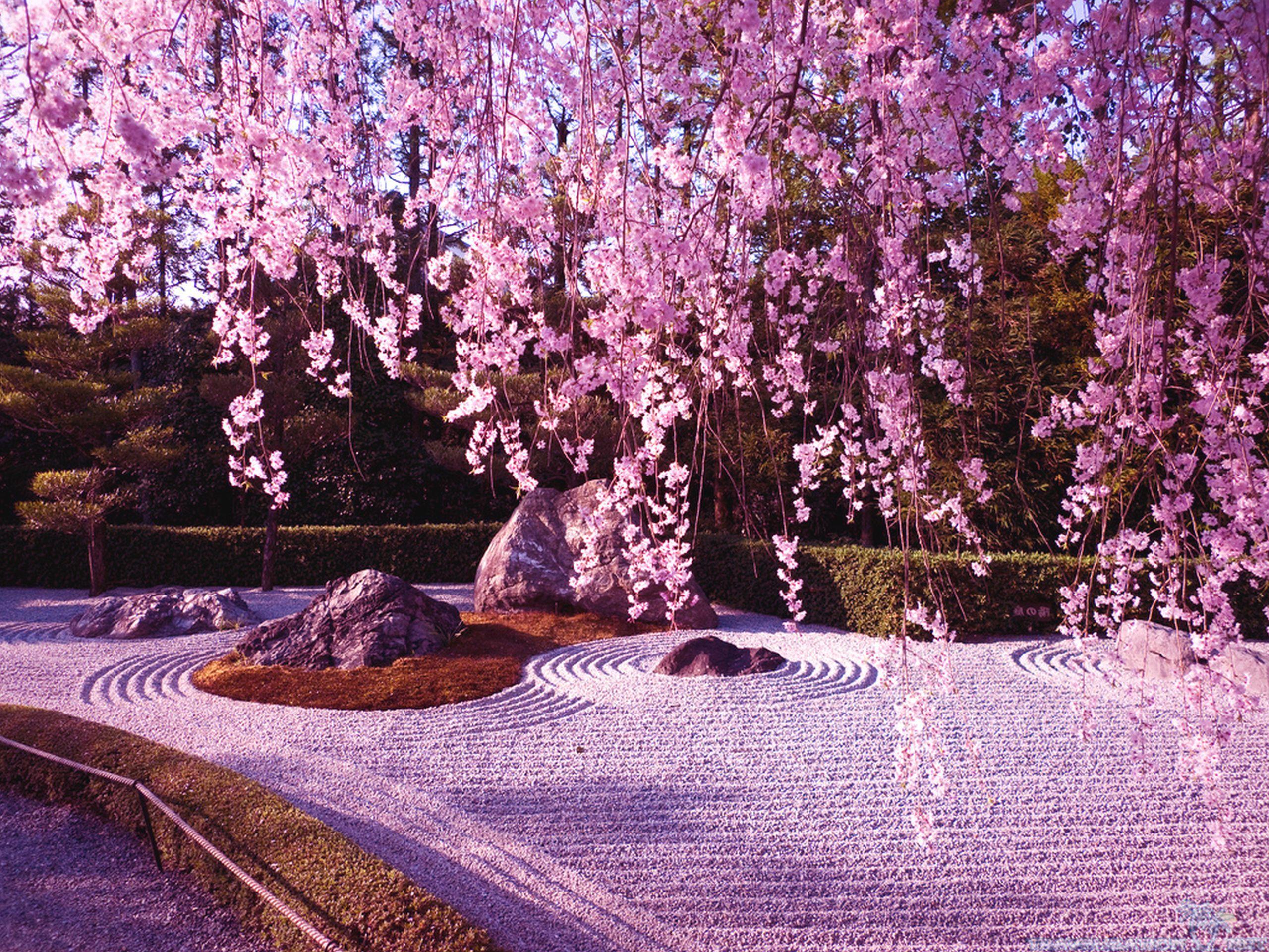 Sakura En El Templo Ninnaji Kyoto Futonia Naturaleza