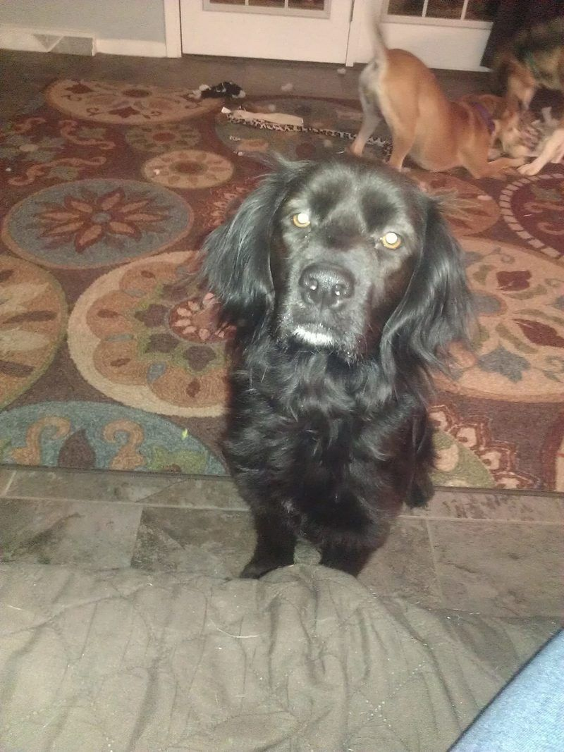Adopt Saylor On With Images Cocker Spaniel Mix Animal Advocacy Animals