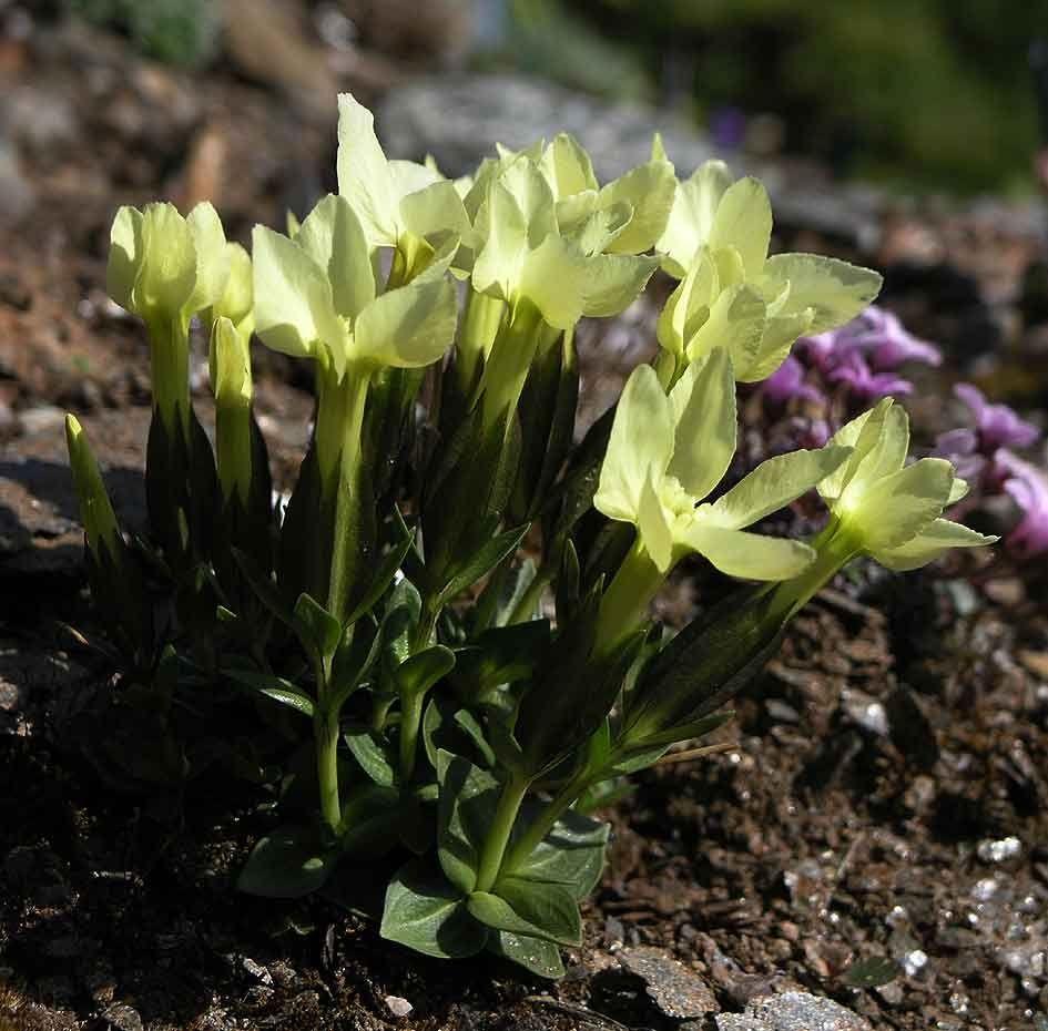 gentiana oschtenica blumen pinterest alpine pflanzen pflanzen und blumen. Black Bedroom Furniture Sets. Home Design Ideas