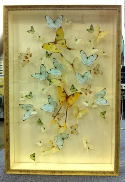 Athens Art & Frame - Butterfly Collection Shadow Box | Butterflies ...