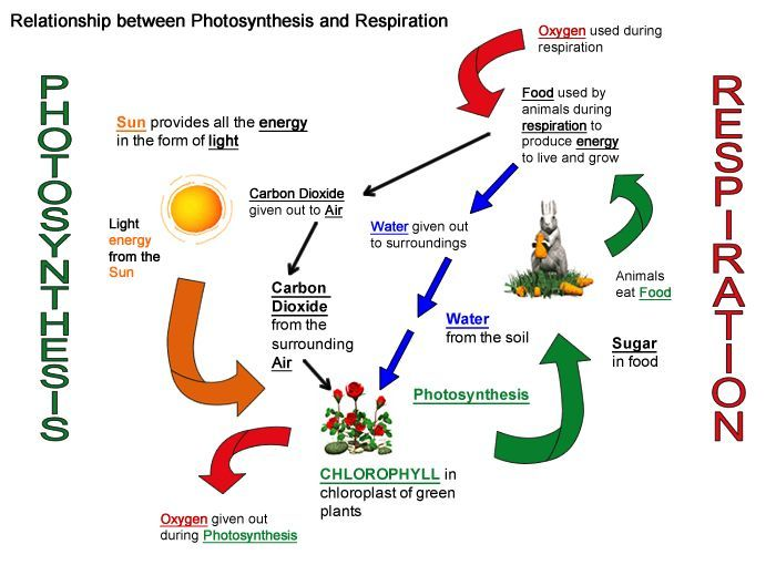 what is the relationship between respiration in animals and photosynthesis green plants