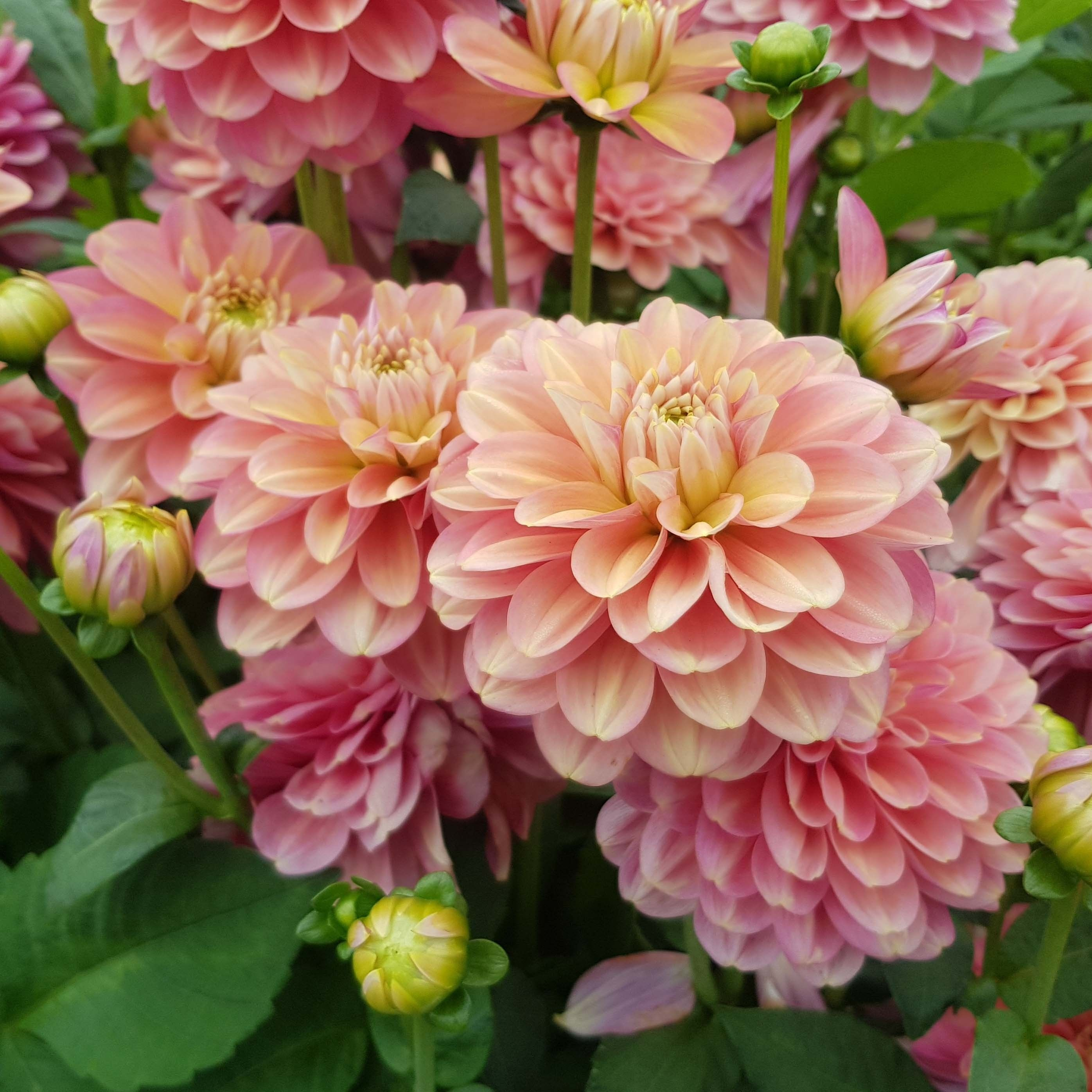 Dahlia 'Milena Fleur' | Dahlia, Flowers, Garden