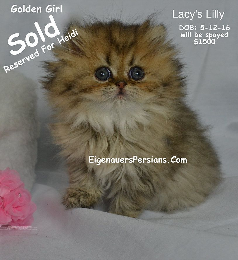 Persian Kittens For Sale We Have Gorgeous Golden Kittens All Our Persian Kitte Animals Funny Cats Persian Kittens Persian Kittens For Sale