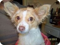 Chihuahua Mix Seattle Wa Dixie Urgent Dixie Is Looking For A Loving Home Please Help Her By Sharing This Post Thanks B Chihuahua Mix Dog Sounds Pets