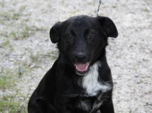 Polly Is An Adoptable Border Collie Dog In Chicago Il Polly Is A 10 Month Old Border Collie Lab Mix Border Collie Lab Mix Cute Puppies Border Collie Dog