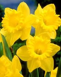 These Are Just Like My King David Daffodils They Are Huge And