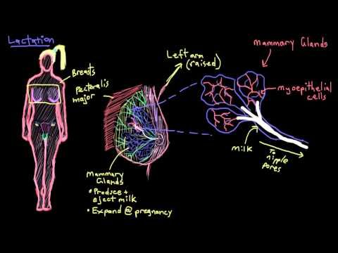 Breast anatomy and lactation - YouTube | Nursing | Pregnancy