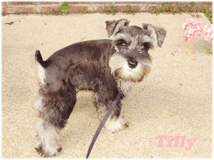 Pin On Mini Schnauzers