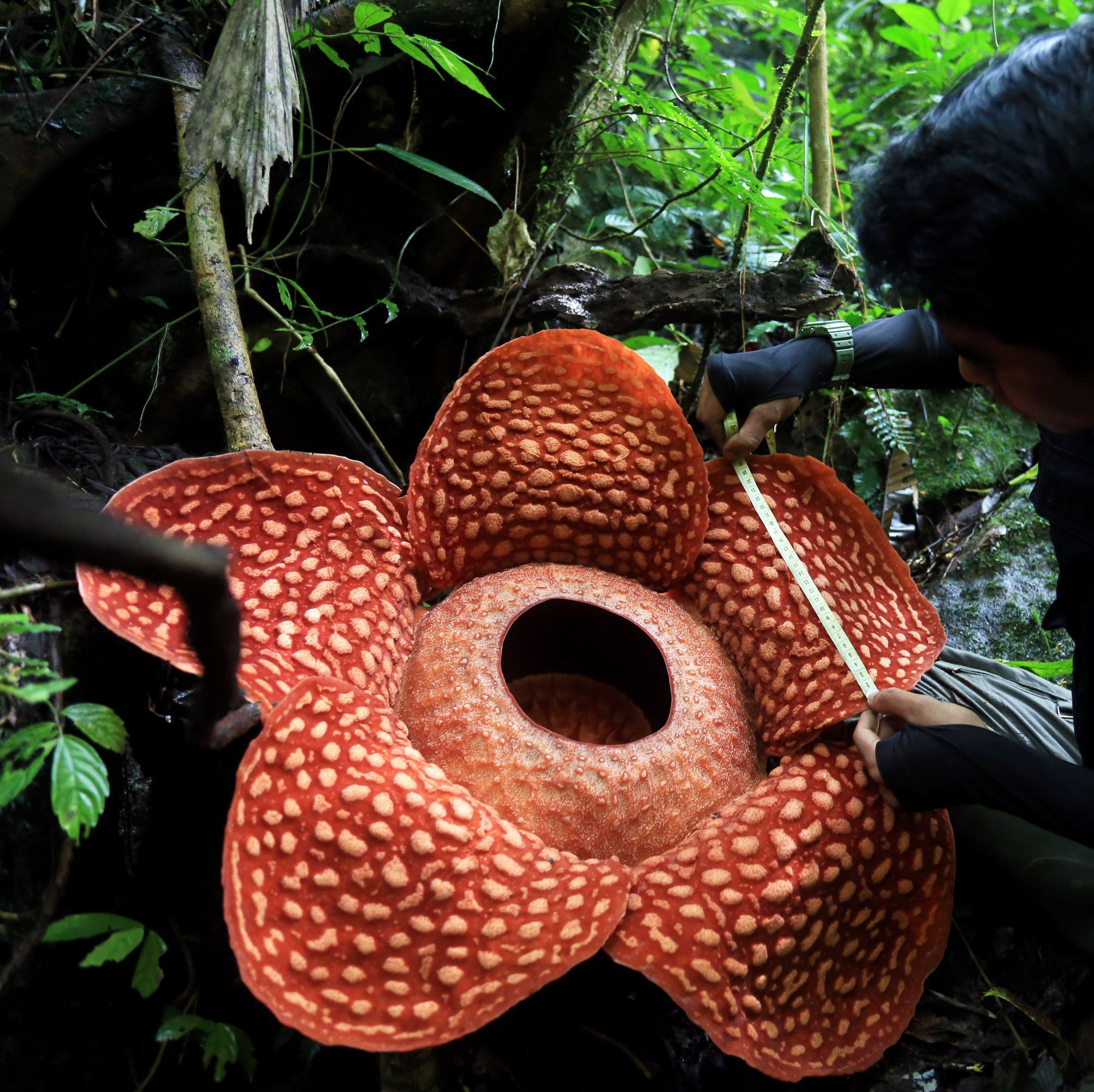 The World's Largest Flower Absolutely Reeks in 2020