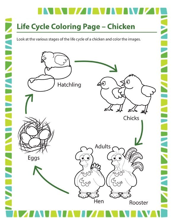 Life Cycle Coloring Page Chicken Crafts And Worksheets For