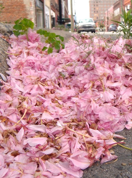 The streets were paved with pink:  Cherry blossoms after a storm, in downtown Goldsboro, NC.