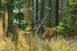 Moose, Jeleň, Les, Príroda, Strom