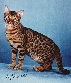ocicat i love her coat ideas for our home pinterest ocicat