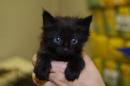 Getting A Black Kitten Tomorrow From My English 2 Teacher Yay