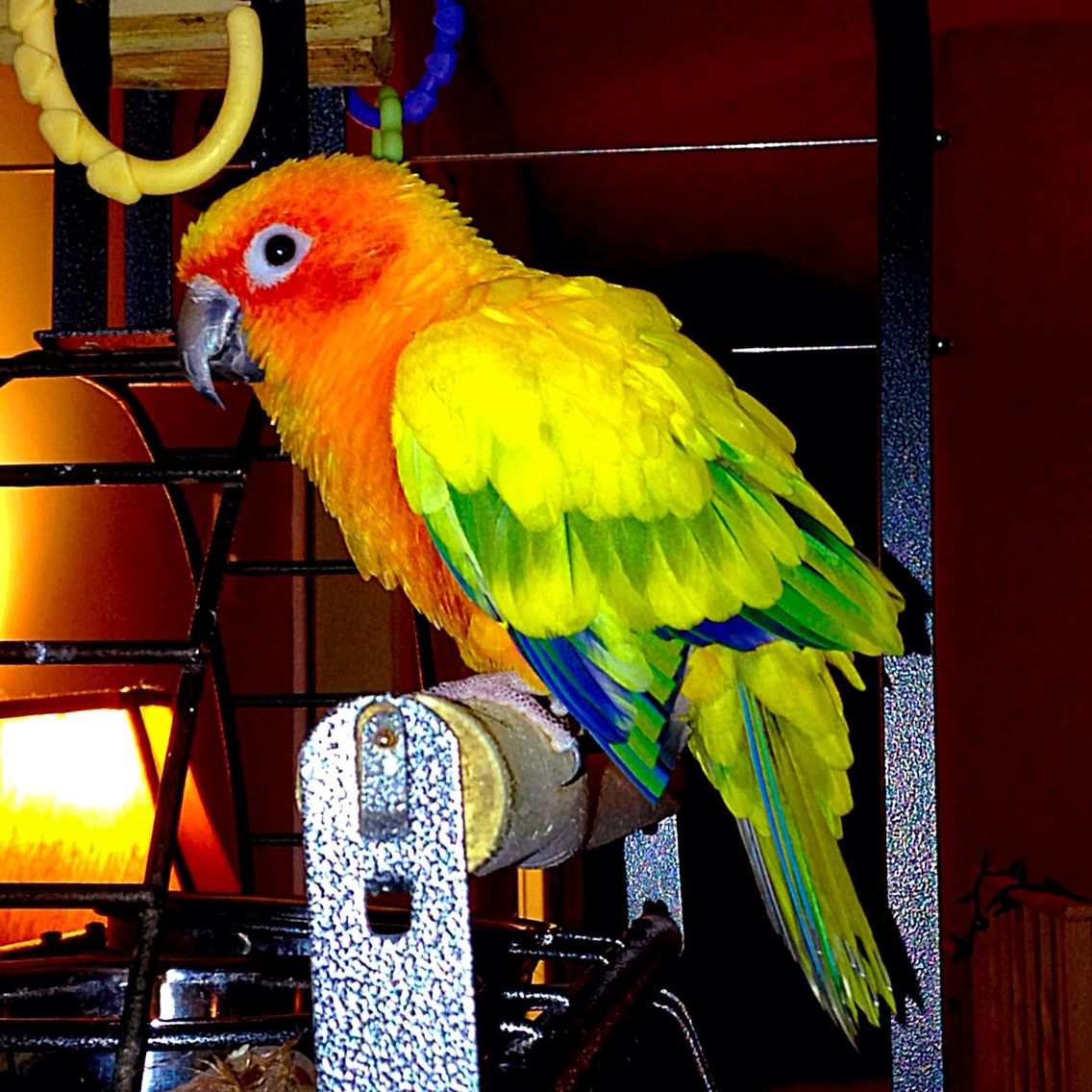Meet Bowser, my new sun conure!