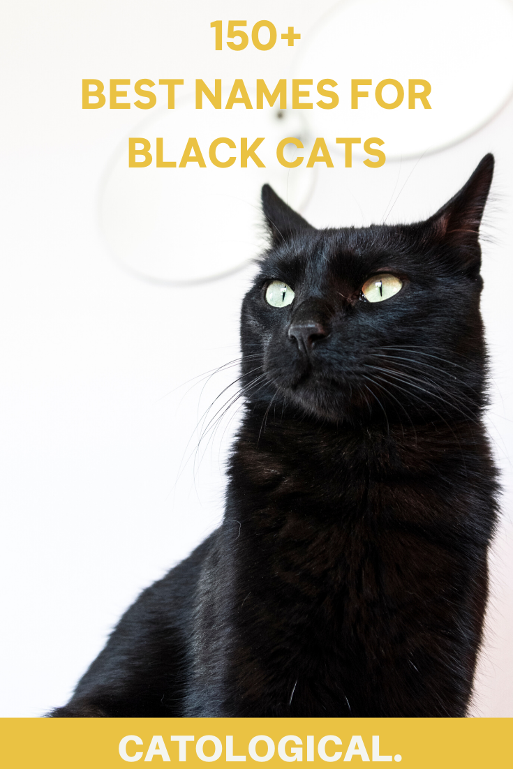 Top 150 Names For Black Cats Funny Unique Pop Culture Inspired Classic And More In 2020 Names For Black Cats Grey Cat Names Cute Cat Names